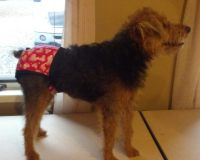 Female Dog Diapers 19